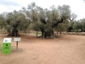 Olivera de 1.702 anys, la més antiga de la Península Ibèrica d'entre les datades. Forma part de la mar d'oliveres entre el Montsià i el Maestrat, i està al terme municipal d'Ulldecona